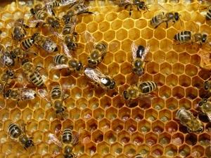 sarang-lebah-madu